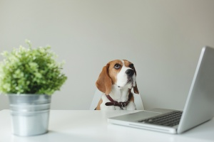 beagle sitting at white minimalist desk with computer